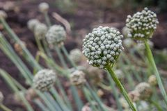 White flowers of blooming onion on autumn field or garden. royalty free stock photo