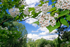 White flowers blooming Stock Images