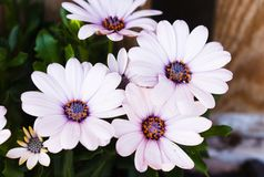 White flowers blooming in the summer royalty free stock images