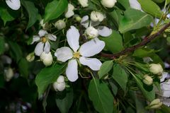White flowers are bloomming on the apple tree. Stock Images