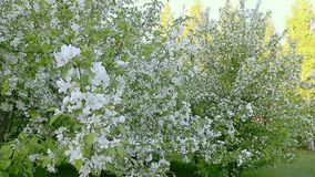 White flowers of blossom apple tree branches. Track in and track out camera movement. stock video