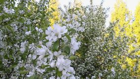 White flowers of blossom apple tree branches. Track in and track out camera movement. stock footage
