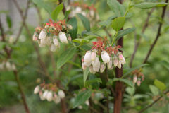White flowers of blossom blueberry bush. Royalty Free Stock Photography