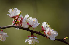White flowers blossom on a branch of a fruit tree. Stock Images
