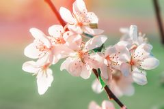 White flowers blossom in spring. Nature. Background royalty free stock photo