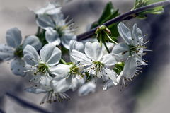 White flowers. Royalty Free Stock Photography