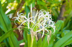 White flowers blossom of the tropical bush Royalty Free Stock Photos