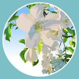 White flowers of a blossoming apple tree in a circle. White flowers of blossoming apple tree in a circle Stock Image