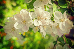 White flowers of blossoming apple tree close up Stock Photo