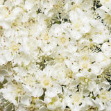 White flowers of blossoming rowan tree, sorbus aucuparia, close-up background, selective focus, shallow DOF.  Royalty Free Stock Images