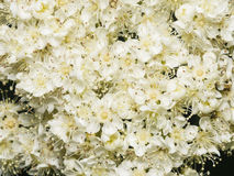 White flowers of blossoming rowan tree, sorbus aucuparia, close-up background, selective focus, shallow DOF.  Royalty Free Stock Photos