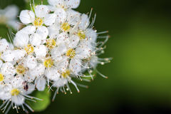 White flowers of the blossoming spirea bush. Close up Stock Photography