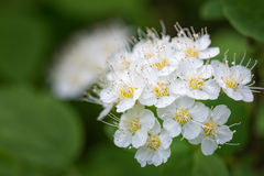 White flowers of the blossoming spirea bush. Close up Royalty Free Stock Photography