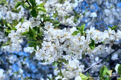 White flowers blossoming tree Stock Photography