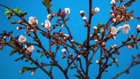 White flowers blossoms on the branches cherry tree. Blue background. Timelapse stock footage