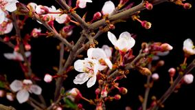 White flowers blossoms on the branches cherry tree. Dark background. Timelapse stock footage