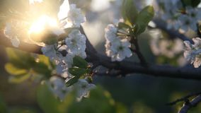White Flowers Blossoms on the Branches Plum Tree stock footage