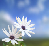 White flowers on blue. Two white flowers on a blue sky in background Royalty Free Stock Photography