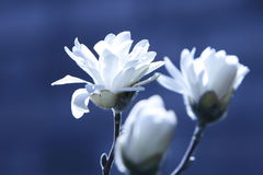 White Flowers on blue background royalty free stock photography