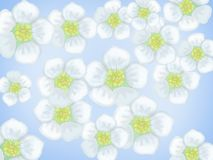 White flowers on a blue background Stock Image