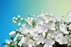 White flowers on a blue pastel background. Royalty Free Stock Photo