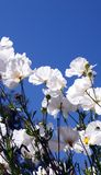 White flowers, Blue Sky. White Flowers against a bright blue sky royalty free stock photo