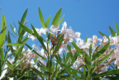 White flowers and blue sky. Details of flowering white plants with blue sky background Royalty Free Stock Photo