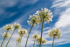 White flowers on blue sky background. White flowers on a background of blue sky with clouds stock photo
