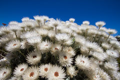 White flowers and blue sky. A bunch of white flowers contrasted by a deep blue sky Royalty Free Stock Images