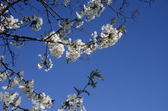 White flowers, blue sky, cherry tree at spring Royalty Free Stock Photo