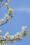 White Flowers, Blue Sky-Spring  Stock Photography