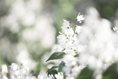 White flowers blurred background. White flowers bloom in summer royalty free stock images