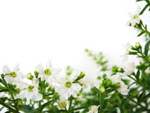 White Flowers Border. White background with white flowers for border/frame royalty free stock photography