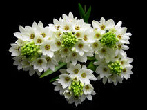 White flowers bouquet. White flowers cluster bouquet against dark background stock photos