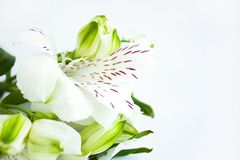 White flowers, a bouquet of alstroemeria flowers, Peruvian lilies. White background, copy space royalty free stock image