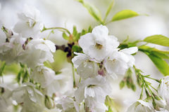 White flowers on a branch. Closeup of white flowers blossom on a branch in the spring Royalty Free Stock Photography