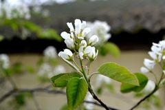 White flowers on a branch with green leaves on a park background. In the early morning in the spring Royalty Free Stock Image
