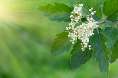 White flowers on a branch. White flowers with green leaves on a tree branch Royalty Free Stock Photos
