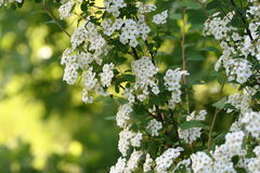 White flowers on a branch hawthorn bush Stock Photo