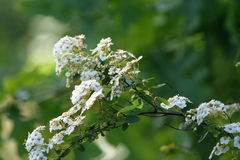 White flowers on a branch hawthorn bush Royalty Free Stock Image