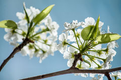 White Flowers. A branch with small white flowers Stock Photography