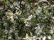 White flowers on the branches of Magnolia tree Magnoliaceae, Magnolia Kobus DC. royalty free stock photo