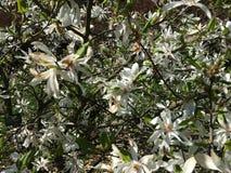 White flowers on the branches of Magnolia tree Magnoliaceae, Magnolia Kobus DC. royalty free stock photo