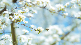 White Flowers on Brown Tree Branch Royalty Free Stock Images