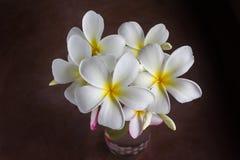 White flowers bunch frangipani or plumeria in dim light dark roo Royalty Free Stock Photo
