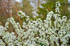 White flowers of Bush Cherry Prunus Japonica. White flowers of the Bush Cherry Prunus Japonica shrub in spring Stock Images