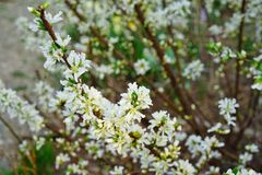 White flowers of Bush Cherry Prunus Japonica. White flowers of the Bush Cherry Prunus Japonica shrub in spring Stock Photos