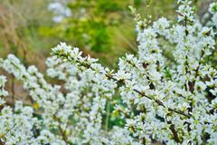 White flowers of Bush Cherry Prunus Japonica. White flowers of the Bush Cherry Prunus Japonica shrub in spring Stock Photography