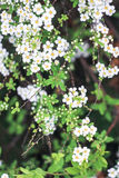 White flowers bush spirea. On a green background Stock Image