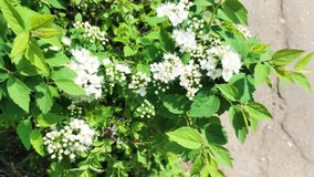 White flowers on the bushes sway from the wind. Spring. 4K stock video footage